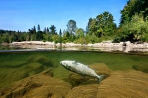dead salmon